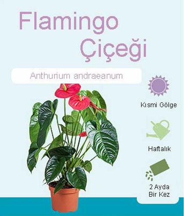 Flamingo Çiçeği
