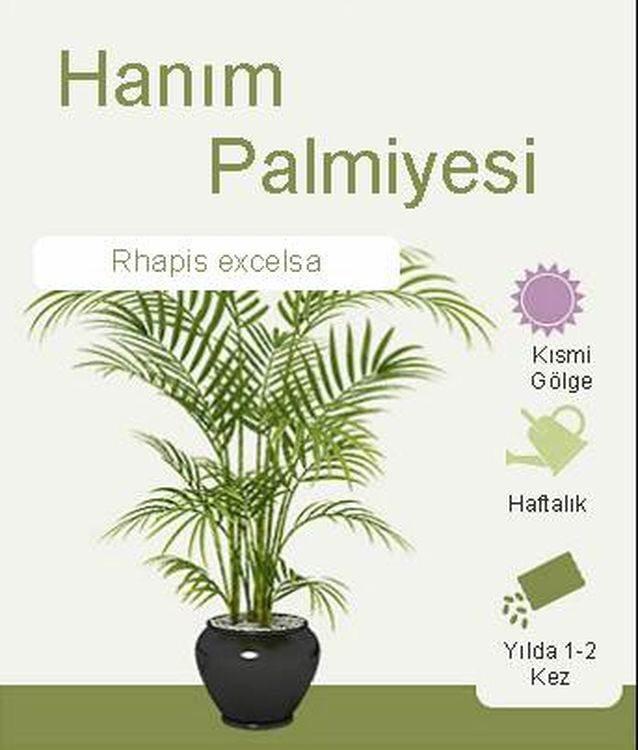 Hanım Palmiyesi