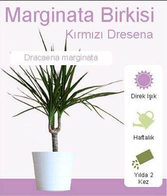 Marginata Kırmızı Dresena çiçeği